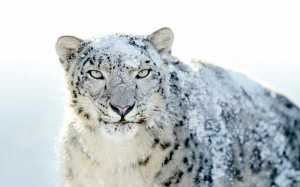 logo snow leopard